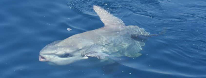 Pelagos Sanctuary fauna moon fish